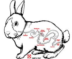 Rabbit Owners Beware: GI Stasis Can Cause A Quick Death
